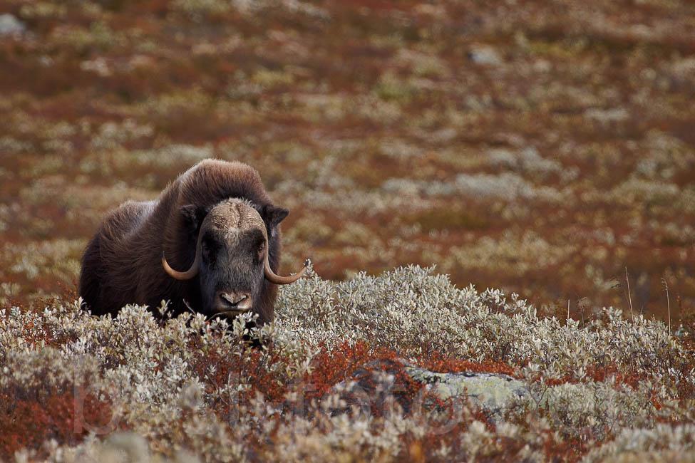 Dovrefjell_2012-50DIMG_2649