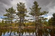Hochwasser in einem Kiefernwald