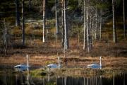 Singschwäne auf einem Waldsee