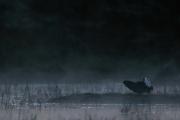 Birkhahn im morgentlichen Nebel im Moor