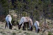 äsende Rentiere im Wald